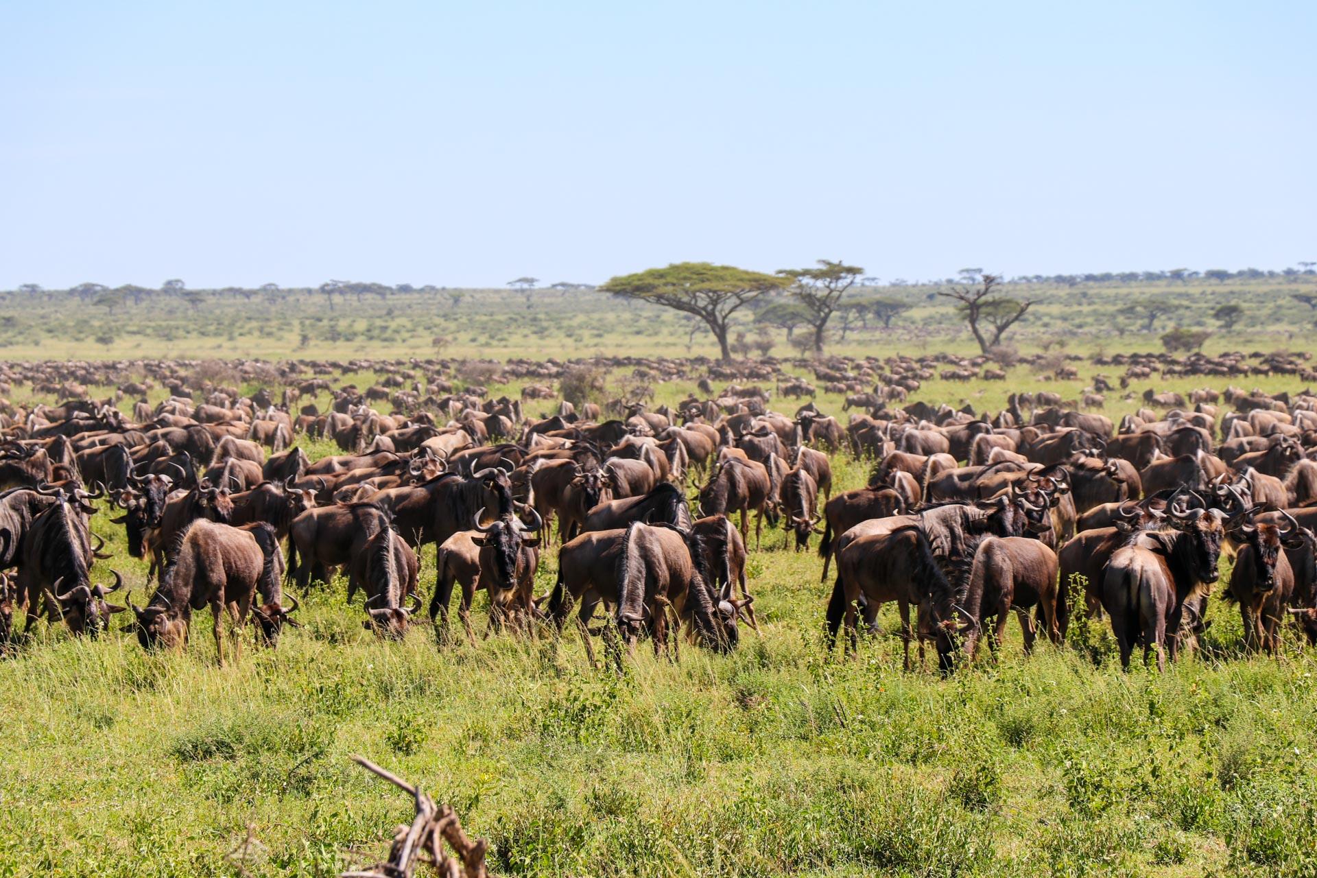 5 Days Kogatende Migration Safari