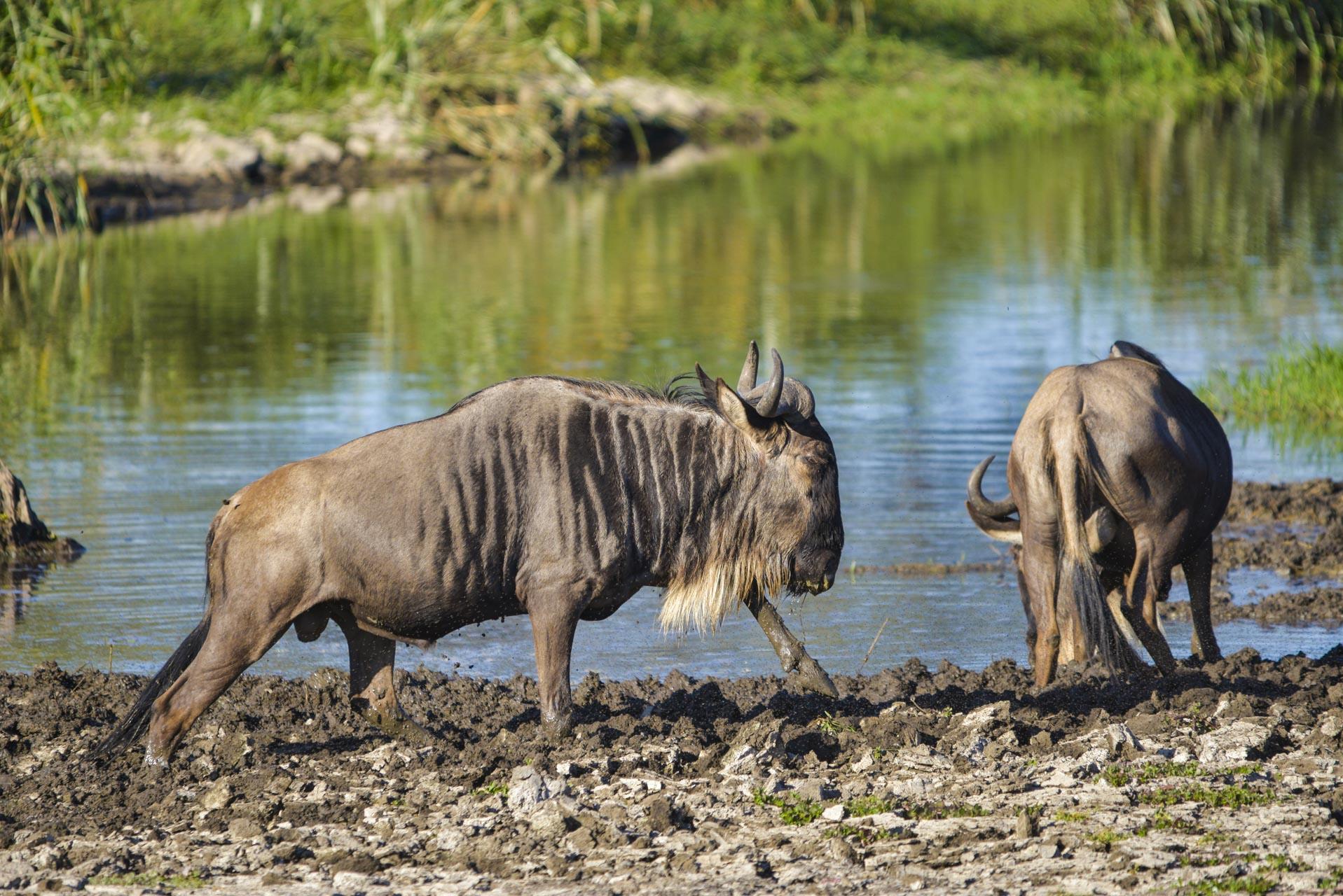 7 Days Ndutu, Serengeti  & Ngorongoro Migration Safari